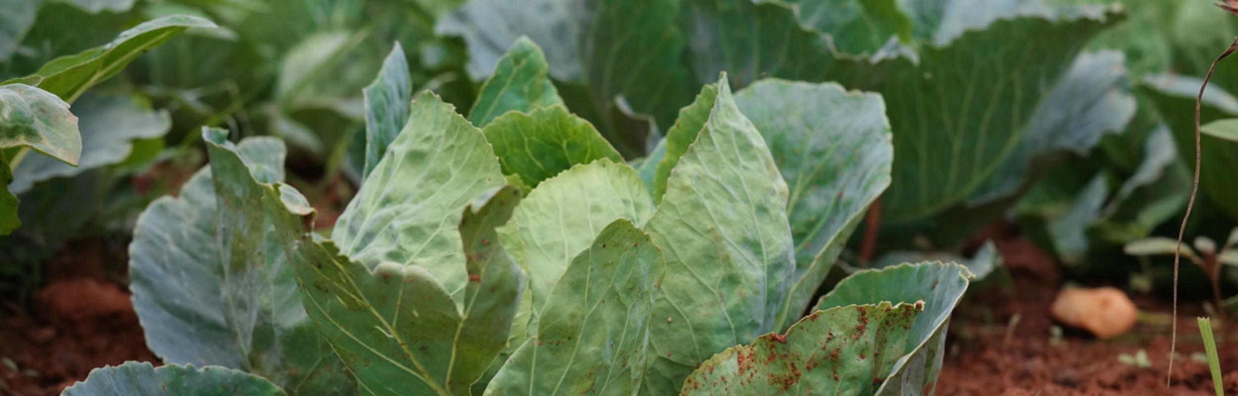 kale in Rwanda