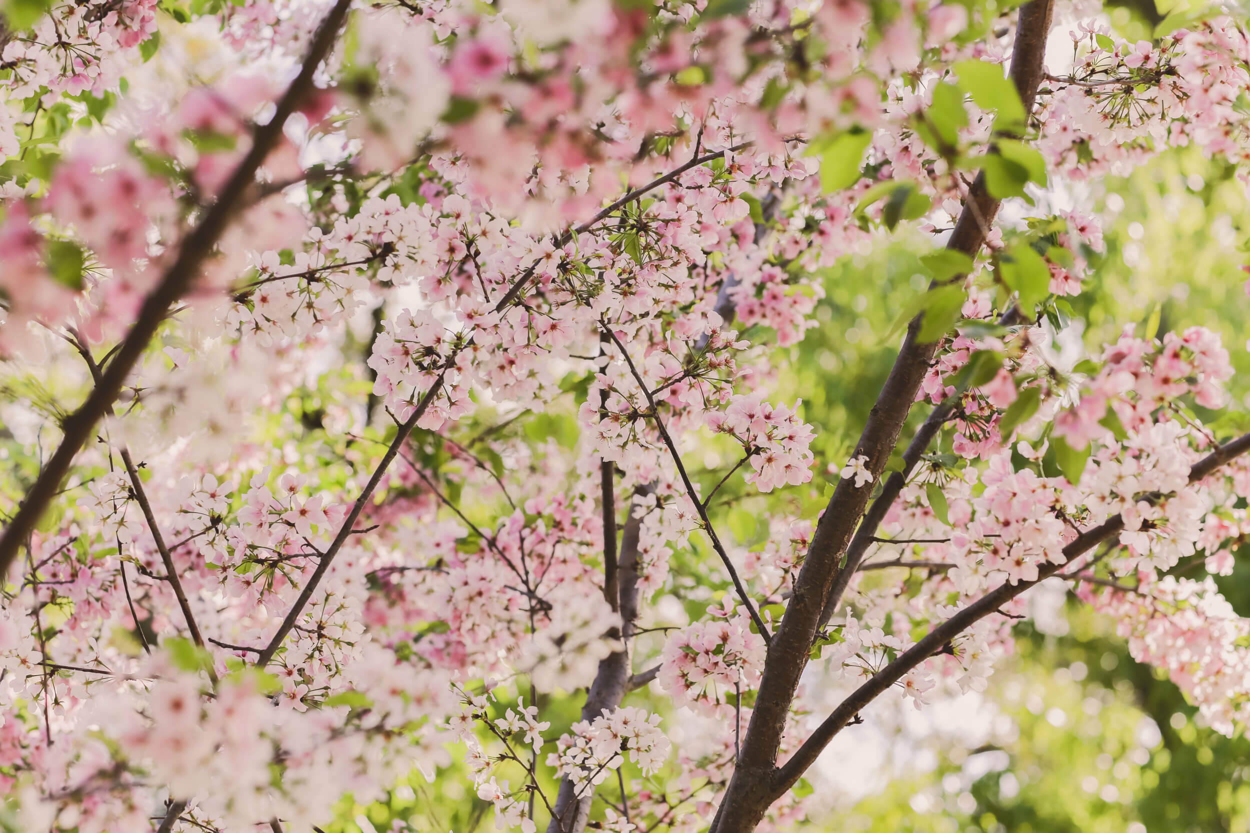 Cherry trees bring comfort and peace to a mother's heart