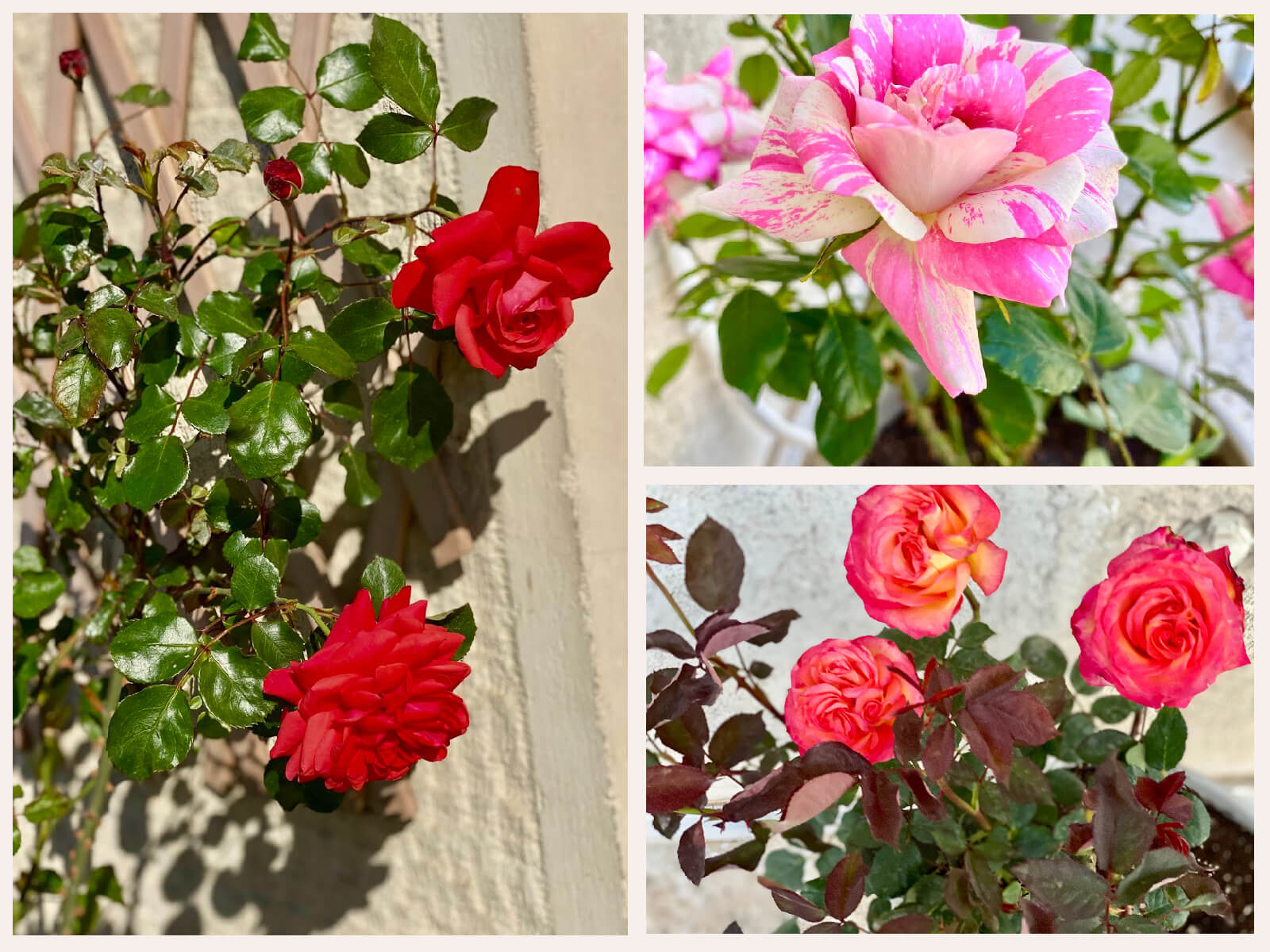 Growing roses on a balcony in Greece